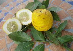 bergamotte-zitrusfrucht-angeschnitten