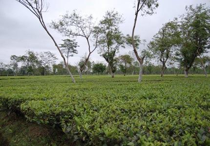 Teegarten in Assam