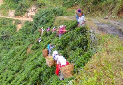 Teegarten in Darjeeling